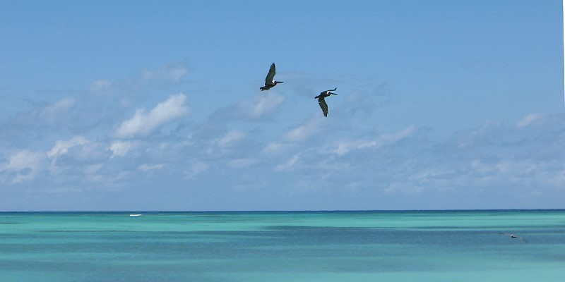 Pelikane vor Anegada, B.V.I.